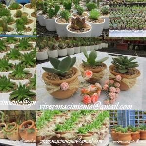 Cactus suculentas matrimonbios bautizos souv cuartilos for Suculentas chile