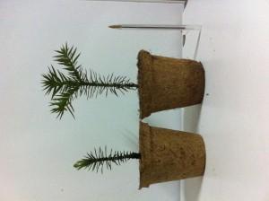 arboles nativos en maceteros ecologicos para presentes de matimonio